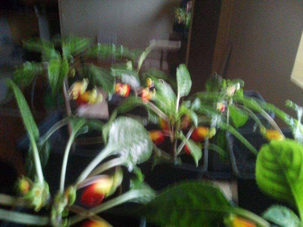 plante bec de perroquet