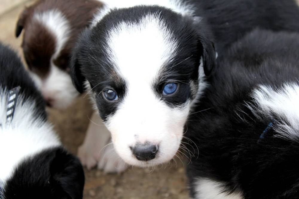 Chiots Border Collie A Donner